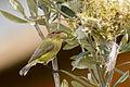 Yellow Thornbill (Acanthiza nana) (22451338928).jpg