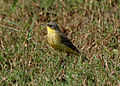 Yellow Wagtail (Motacilla flava) in Hyderabad W IMG 4451.jpg