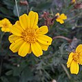 Yellow flower from family Asteraceae or Compositae.jpg
