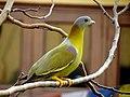 Yellow footed green pigeon bird.jpg