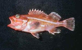 Yelloweye rockfish - Typical young