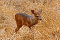 Young Bushbuck (Tragelaphus scriptus) (33038584611).jpg
