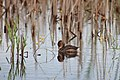 Young Pied-billed Grebe (35740803390).jpg