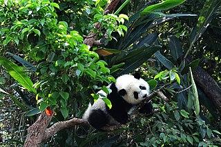 Yuan Zai (giant panda)