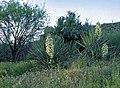Yucca baccata subsp. thornberi fh 1180.25 AZ B.jpg