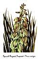 Yucca baileyi var navajoa, by Mary Vaux Walcott.jpg