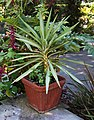 Yucca elephantipes 'Silver Star' Pot 1330px.jpg