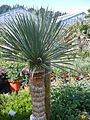 Yucca rostrata 1.jpg