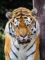 Zürich Zoo Tiger (17143175848).jpg