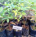 Z seedling Protium obtusifolium - Colophane batard - Ferney.jpg