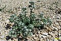Zakynthos flora (35872699946).jpg