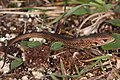 Zauneidechse Lacerta agilis 2.jpg