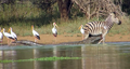 Zebra Escapes the Jaws of 2 Crocodiles HD 2.png