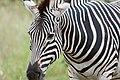 Zebra close-up (2361399879).jpg