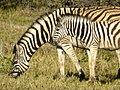 Zebra met jong (6521936189).jpg