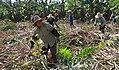 Zhuang sugar cane harvest.jpg