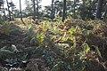 Zicht op overgroeide grafheuvelgroep, nabij de Bosstraat bij de Duitse grens - Swalmen - 20427861 - RCE.jpg