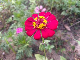 Zinnia - Zinnia flower
