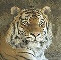 Zoo Aschersleben Amurtiger Panthera tigris altaica 2007.jpg