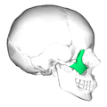 Zygomatic bone lateral.png