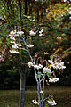 'Sorbus cashmiriana' Beale Arboretum - West Lodge Park - Hadley Wood Enfield London.jpg