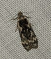 (0854) Anacampsis blattariella (4838457887).jpg