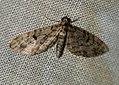 (1857) Dwarf Pug (Eupithecia tantillaria) (4686838643).jpg