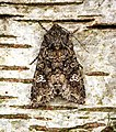 (2154) Cabbage Moth (Mamestra brassicae) (26548754113).jpg