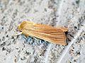 (2199) Common Wainscot (Mythimna pallens) - Flickr - Bennyboymothman (3).jpg