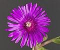 (MHNT) Delosperma cooperi - Flower.jpg