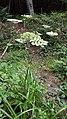 Борщівник - токсична небезпечна рослина у заповіднику Сколівські Бескиди.jpg