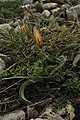 Весняний ефемероїд тюльпан південний (Tulipa sylvestris L. subsp. australis (Link) Pamp.) (2).jpg