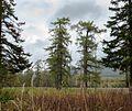 Древние Листвиницы - panoramio.jpg