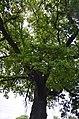 Дуб скельний у Кам'янець-Подільському.jpg