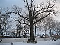 Дуб черешчатий (Полтава, Монастирська 9а) 03.jpg