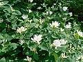Жимолость обыкновенная цветы станция Жасминная Саратов.jpg