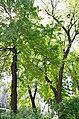 Золотоворітський сквер - пам'ятка природи. Фото 6.jpg