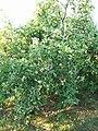 Плодоносящий дерева яблони сорта Розовое столовое-01.jpg