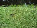 Пушкинские утки на зелёном берегу.JPG