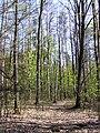 Сосново-змішаний ліс в заказнику Михайловичі.jpg