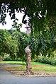 Софора японская плакучая в Одессе. Фото 8.jpg