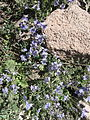 Վայրի ծաղիկներ 2.jpg