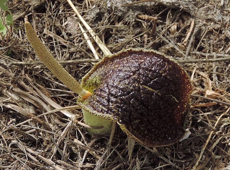 Tình yêu cây cỏ ĐV2 - Page 94 800px-%D7%9C%D7%95%D7%9C%D7%99%D7%A0%D7%99%D7%AA_Eminium_spiculatum