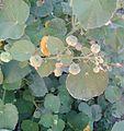 துத்திக் கீரை 3 (Abutilon indicum).jpg