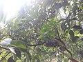 വെണ്ണപ്പഴം 59bm .jpg