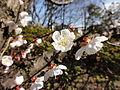 ウメ(梅)(Prunus mume)-花 (7105590187).jpg