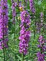 千屈菜 Lythrum salicaria -香港公園 Hong Kong Park- (9200913924).jpg
