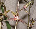 報歲閃電 Cymbidium sinense 'Lightning' -香港沙田國蘭展 Shatin Orchid Show, Hong Kong- (12284709034).jpg