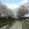 御所市にて 柳田川の桜 Cherry trees along the Yanagida river 2012.4.07 - panoramio.jpg