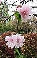 桃花-朱粉垂枝 Prunus persica 'Hanging Pinkish' -上海植物園 Shanghai Botanical Garden- (16744727354).jpg